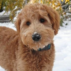 will-the-goldendoodle-named-patton-be-barron-s-first-dog-at-the-white-house-photo-blasting-news-library-pinterest-com_1023081